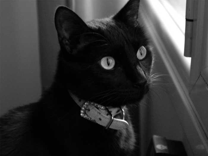 Wiro gato